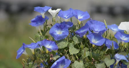 ventoso : Morning glory in the wind
