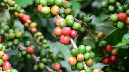 vagens : Coffee beans on trees  Vídeos