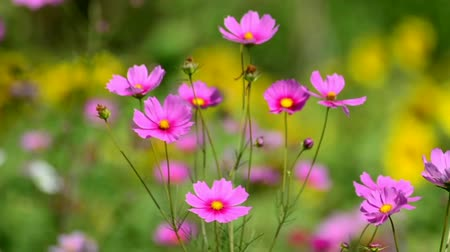 compositae : Beautiful cosmos flowers swaying in the breeze