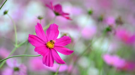 esinti : Beautiful cosmos flowers swaying in the breeze