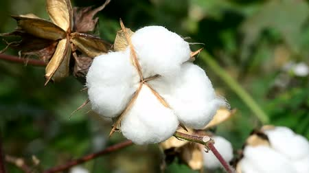 хлопок : Cotton Plant Ready for Harvest Стоковые видеозаписи
