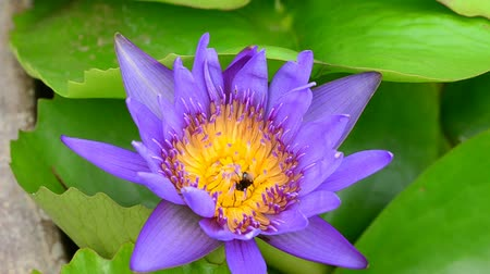 pszczoła : lotus and bee