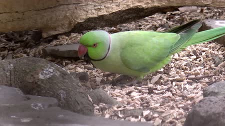 ara papagáj : green parrot eating, HD clip