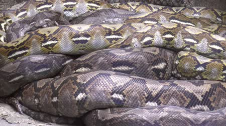 snake skin : grote reticulated python (python reticulatus) rusten, hd schot. Stockvideo