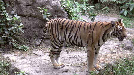 гул : tiger at zoo wandering HD clip Стоковые видеозаписи