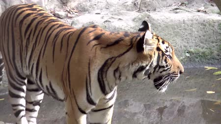 kaplan : tiger at zoo walking HD clip