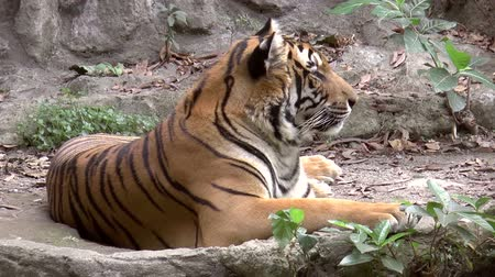 řev : tiger at zoo resting, lying side view, HD clip