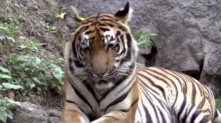 panter : tiger at zoo resting zoom-out HD clip