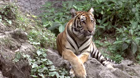 гул : tiger at zoo resting, lying HD clip Стоковые видеозаписи