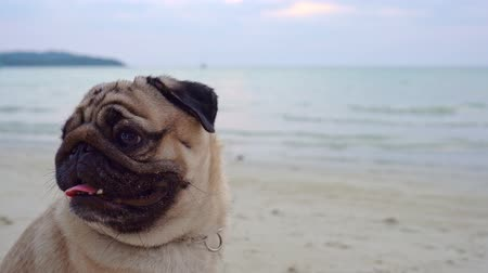 daksund : Happy dog pug breed sitting on beach feeling so happiness and fun vacations on the beach,Dog vacations Concept