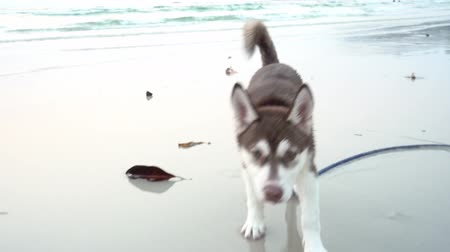 arktický : Cute dog Siberian husky breed running on the beach having fun and relax