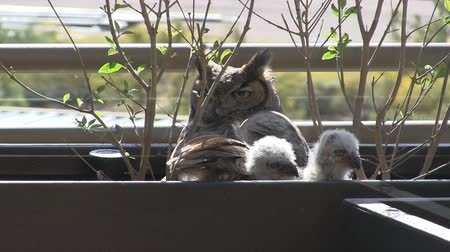 Owl and Owlets on Balcony in Arizona Wideo