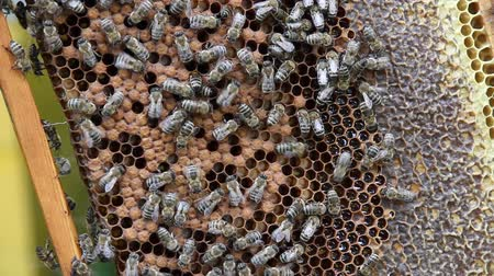 apiary : Honeycomb with bees, honey and  sealed cells of brood
