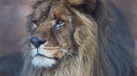 bas : Male Lion close up head