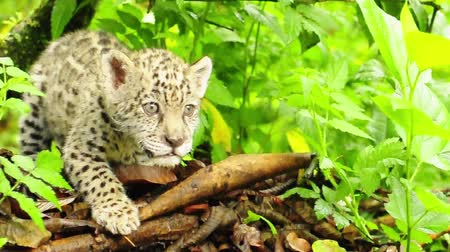 yırtıcı hayvan : Baby jaguar in the Amazon Stok Video