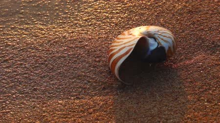 ракушки : Nautilus shell on a sandy textured beach with waves.