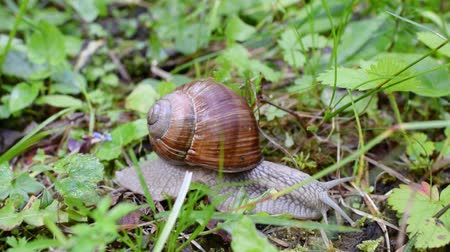 salyangoz : Snail moving in the woods Stok Video