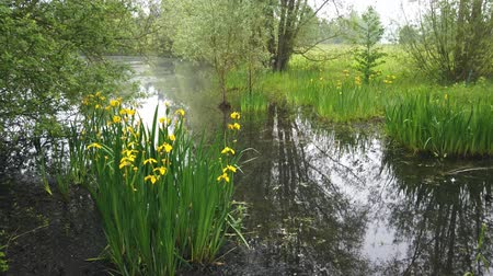 perçin : pond in the mist with water yellow iris in bloom