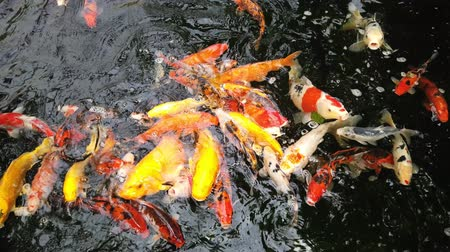 plavat : different varieties of koi carp of all colors that come to eat at the edge of the basin