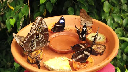 саженцы : Peleid morpho, Eurilochus caligo, Heliconius doris, exotic butterflies eating fruits and syrup Стоковые видеозаписи