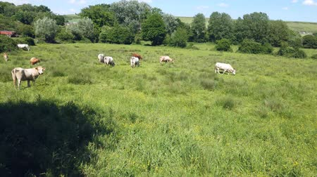 jíst : herd of cows of different breeds grazing peacefully in the green countryside in spring Dostupné videozáznamy