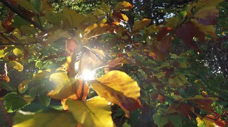 Sunlight shining through some orange, yellow and green autumn leaves in a forest Wideo