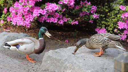 duck : A Pair of Ducks Feeding by a Flowering Azalea Plant in Spring Season 1920x1080