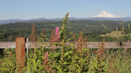 pacífico : Scenic View of Mount Hood with Wild Flowers and Tall Grass in Sandy Oregon