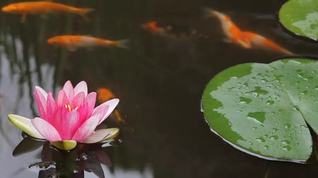 brocaded : Koi Fish Swimming in Garden Water Pond with Pink Water Lily Flower Blooming and Green Lily Pads 1920x1080