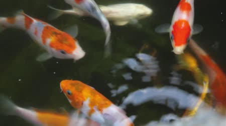 gramado : Koi Fish Swimming and Feeding in Backyard Pond 1920x1080 Stock Footage
