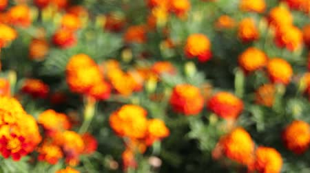 calendula officinalis : Out of Focus Bokeh of Golden Bushy Clusters of Blooming Marigold Plants in Garden 1080p Stock Footage