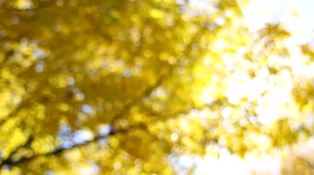 yuvarlak : Yellow Fall Leaves on Beech Trees Out of Focus Bokeh Background on a Sunny Day in Autumn Season 1920x1080