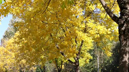 lombhullató : Yellow Falling Leaves from Residential Neighborhood Beech Trees Along the Road in Autumn Season 1080p