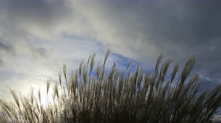 mavi gök : Ornamental Grass with Silky Tresses of Silvery Cream Plumes Swaying on a Breezy Day Time Lapse 4096x2304 Stok Video