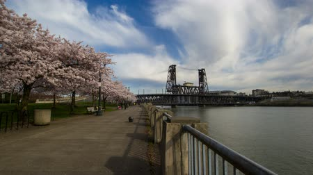 japonka : Flowering Cherry Blossom Trees Spring Season in Japanese Memorial Park along Willamette River Waterfront in Portland Oregon with White Clouds and Blue Sky Time Lapse 1920x1080