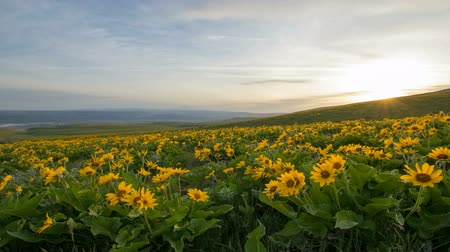 maska : Arrowleaf Balsamroot Wildflowers Blooming in Spring at Columbia Hills State Park Along Columbia River Gorge with Mt Hood View Moving Clouds and Sky at Sunset Time Lapse 1920x1080
