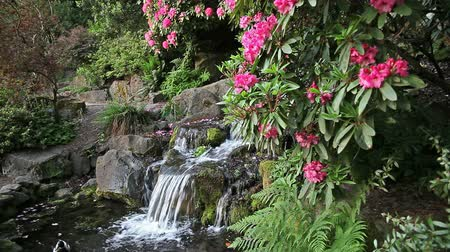 mohás : Waterfall in Backyard Garden with Ferns Moss and Pink Rhododendron Flowers Blooming in Spring Season 1920x1080