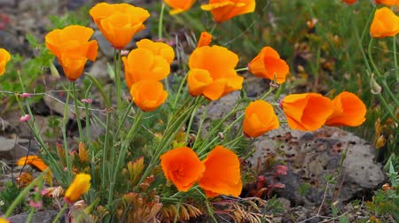 wildflowers : Golden Poppy Wildflowers Blooming Spring Season in Maryhill Washington on a Breezy Windy Day 1920x1080 Stock Footage