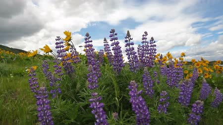 подсолнухи : Lupine and Balsamroot Wildflowers Blooming Spring Season in Maryhill Washington with White Clouds and Blue Sky on a Windy Day 1920x1080 Стоковые видеозаписи
