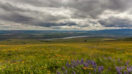 yuvarlanma : Lupine and Balsamroot Wildflowers Blooming Spring Season in Maryhill Washington Rolling Hills Landscape with Sun Dark Clouds and Sky on a Stormy Day 1920x1080