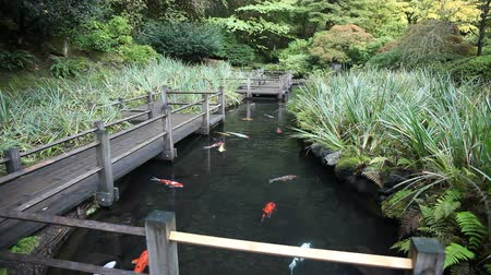 brocaded : Large Group of Colorful Koi Fish Swimming in Garden Pond with Walking Wood Bridge and Plants Movie 1080p