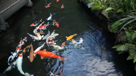 brocaded : Large Group of Colorful Koi Fish Swimming in Garden Pond with Plants Movie 1920x1080 Stock Footage