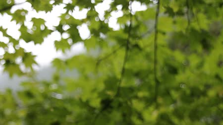 acer : Out of Focus Blurred Green Maple Leaves Background and Texture HD Movie 1920x1080 Stock Footage