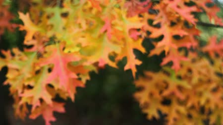 temporadas : Fall Color Oak leaves on branches swaying on a windy day autumn season movie 1920x1080 Stock Footage