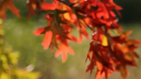 боке : Colorful Autumn Oak leaves out of focus bokeh into focus background in Fall season 1920x1080