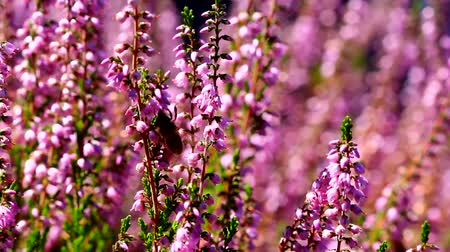 yabanarısı : High definition movie of honey bees pollinating Heather flowers with blurred out of focus bokeh background in summer season 1920x1080