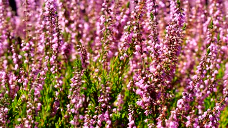 yabanarısı : High definition movie of honey bees pollinating Heather flowers with blurred out of focus bokeh in summer season 1920x1080