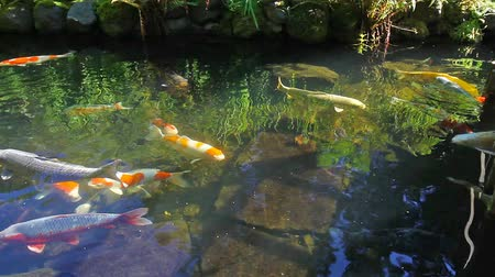 ploutve : High definition 1080p movie of colorful Koi fish swimming in a pond in garden 1920x1080