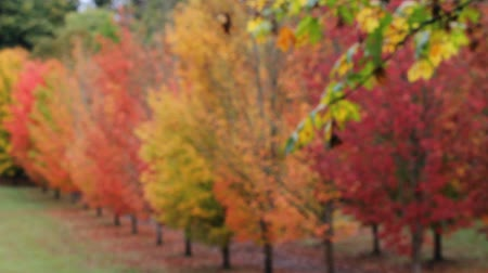 High definition movie of autumn fall colors leaves from blurred bokeh into clear focused maple trees 1080p