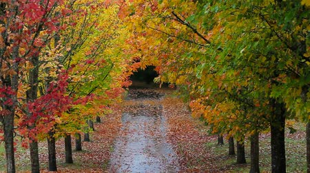 příjezdová cesta : High definition movie of colorful autumn fall leaves of tall maple trees lined along street in park zoom out 1920x1080 Dostupné videozáznamy